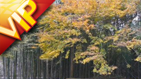 竹林实景拍摄素材 竹林竹子特写镜头 近看竹林