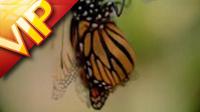 毛毛虫蜕酿成蝴蝶的进程 采花粉的蝴蝶群 高清实拍素材