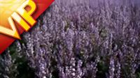 美丽的紫色花海 高清实拍视频素材