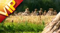 农业篇 青稞的收割 高清实拍视频素材