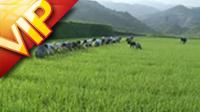 水稻田农夫在拔秧苗 高清实拍视频素材