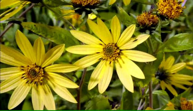 树渐绿渐黄四季变更绿叶水滴植物花渐变震动风光无水印视频素材