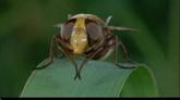 蝗虫蚂蚁蜜蜂虫豸清早运动特写高清实拍视频素材