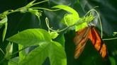 蝴蝶倒挂新苗高清实拍视频素材
