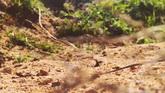 戈壁蜥蜴表皮特写奔驰高清实拍视频素材