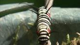 黑白红点条纹毛毛虫酣睡与爬行特写高清实拍视频素材