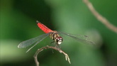 白色蜻蜓特写高清实拍视频素材