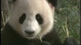 可愛熊貓樹上撓癢吃竹子高清實拍視頻素材