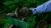松茸的产销包装检验高清实拍视频素材