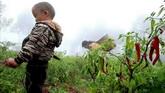 农民夫妇带小儿在辣椒菜地里采摘辣椒红辣椒特写高清实拍视频素材