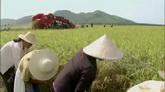 2段机械收割水稻 农民带斗笠在田里收割水稻 高清实拍视频素材