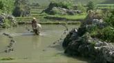 老牛耕田准备种植水稻田高清实拍视频素材
