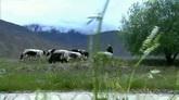 河滨放牛奶牛牛群吃草高清实拍视频素材