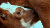 小牛吃奶特写镜头 高清实拍视频素材