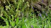 风铃草生长花开放过程高清实拍视频素材