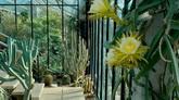 3个仙人掌花朵快速凋零闭合特写过程高清实拍视频素材