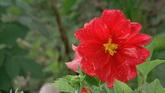 绚丽的鲜花 花瓣带露珠 蜜蜂采蜜 特写镜头 高清实拍视频素材