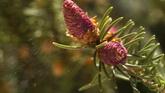 松树松子塔散播花粉特写镜头 高清实拍视频素材