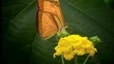 蝴蝶采花粉2 漂亮的橙红色蝴蝶采黄色小花花粉高清实拍