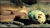 微观基因4 自然界生物生存捕食 蛇吞蛋吐壳鱼捕虾水母之死花开实
