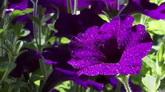 紫色牽牛花開 早晨花朵帶露珠特寫鏡頭 高清實拍視頻素材