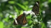 蝴蝶采花粉 绿色草丛中的群碟特写高清实拍视频素材