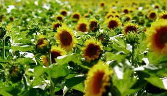 农业农田向日葵葵花特写镜头小麦收割 高清实拍视频素材