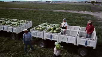 农业农田 瓜农摘西瓜高清实拍视频素材