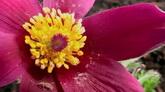 鲜花开放进程高清实拍视频素材