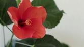 鮮花開放過程高清實拍視頻素材