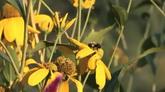 蜜蜂采蜜 特寫鏡頭高清實拍視頻素材