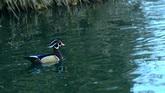 水上飞禽 鸭群特写高清实拍视频素材