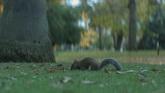 公园小松鼠特写高清实拍视频素材