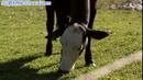 牛吃草 高清实拍视频素材