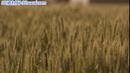 小麦摆动 高清实拍视频素材