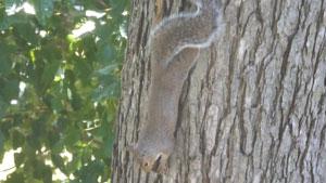 松鼠倒挂在树上啃咬坚果的特写镜头