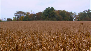凋零的玉米地和葡萄園田園風光