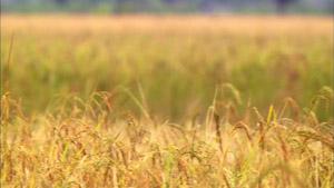 金黄色稻田 待秋收成熟的水稻田园美景高清实拍素材