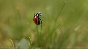 小小瓢虫慢慢爬上草尖的画面特写