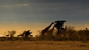 荒漠中长颈鹿走近树木吃树叶场景