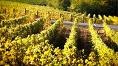 金黄色葡萄园挂满葡萄田园风光美景