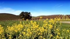 山坡黄色油菜花种植田园风光