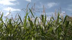 着花结棒的玉米地农业美景