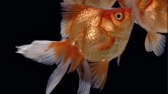 黑色背景水中金鱼缓慢游动特写镜头