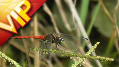 各种蜻蜓特写镜头中国古典音乐