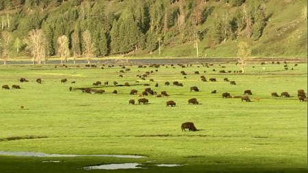 高清实拍牛群在草原上吃草自然风光美景