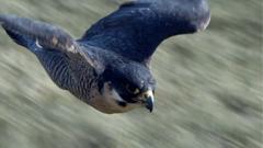 鹰展翅飞翔眼神爪子羽毛高清特写镜头