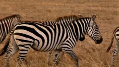 草原上斑马群走动高清特写镜头