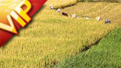 高清实拍农民田里喷药锄地收割稻谷农忙场景