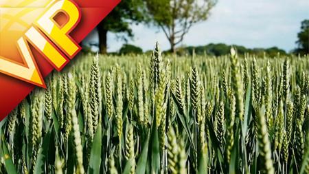 青色小麦随风摇动麦浪翻滚麦穗特写镜头